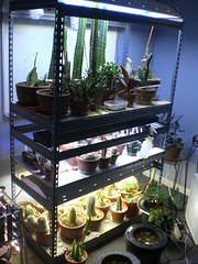 CIMG1799 (runrun02864) Tags: cactus film water cacti technology deep culture hydroponics nft nutrient pereskiopsis