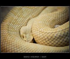 Mirada de una Cascabel Blanca (bruno.photography) Tags: madrid white eye zoo bokeh snake blanca culebra mirada reptil rattler serpiente cascabel