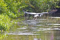 Heron takes flight (SkyFireXII) Tags: holiday france anger falcon laval narrowboat mayenne sarthe chateuneuf lesuze