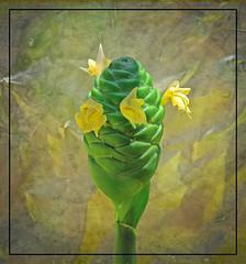 Shampoo (Mona Hura) Tags: santa red green floral beautiful yellow pine yard landscape hawaii ginger soft lily gulf florida cone blossoms lawn rosa shampoo fluid tropical blooms blush breeze subtropical arrangements rhizome awapuhi ☆thepowerofnow☆ 3922b darceyi kuahiwi