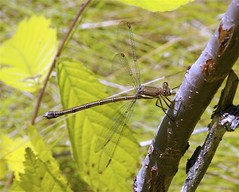 Female Great Spreadwing Damselfly (milesizz) Tags: wisconsin milwaukee damselfly wi spreadwing odonata lestidae archilestesgrandis greatspreadwing