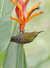 DSC06497a (AMNOOR) Tags: bird nude sony a200 sunbird burung bogel sonyalpha200 sal70400g burungkelicap