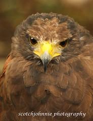 IMG_0001 (scotchjohnnie) Tags: bird nature photoshop canon hawk beak feathers prey scotchjohnnie beamishbirdofpreycentre