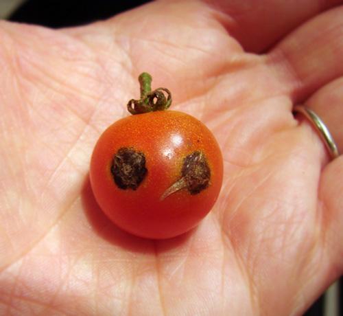 ladybug mater
