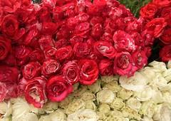 Rosas (Jos Lira) Tags: rosas