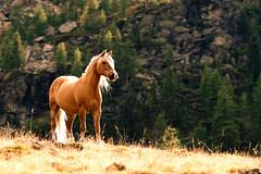 horsepower (Dennis_F) Tags: trees horse sun sunlight mountain lake tree nature grass st hair freedom woods glow bright sony natur berge fisher gras dslr tamron sonne pferde wald bume gertrude pferd 70200 baum fury sdtirol horsepower southtyrol freiheit haflinger sonnenlicht a700 furyintheslaughterhouse brownhorse ultental sonydslr tamron70200 glowinghair hierkommtdiesonne pferdebild alpha700 sonya700 sonyalpha700 dslra700 horsepicture haflingerpferd sonnenlight stgertraud tamron7020028 ultenvalley fischersee gleck fiechtalm pferdesalami pferdbild highqualityanimals