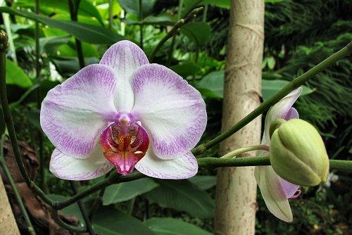 Phalaenopsis x hybridus (rq) - 07