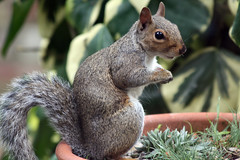 cute closeup squirrel charming brighteyes bushytail earthenwarepot canoneos450d