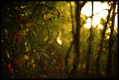 a memory cherished (futureancient) Tags: leica autumn sunset fall leaves woods sundown time bokeh lies f10 flare loves noctilux twigs neverforget secrets timeless m9 braches regrets outoftime leicam9 alifetimeofmemoryscondensed