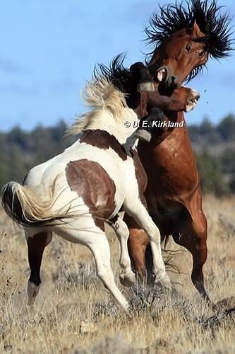 Fighting Stallions_IMG_5953v
