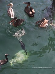 sealife (qletsqop) Tags: sea bird water birds monterey sealife zee pelican seal cormorant amerika dieren califonia pelikaan aalscholver naturesfinest zeehond zeeleven californi zeevogels qletsqop