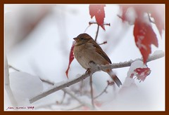Winter finch (pam's pics-) Tags: autumn snow storm tree bird fall leaves fauna colorado denver finch pammorris nikond40 arkiesnaturegroup denverpam