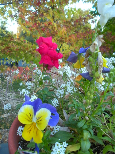 Pansies snap dragons alyssum