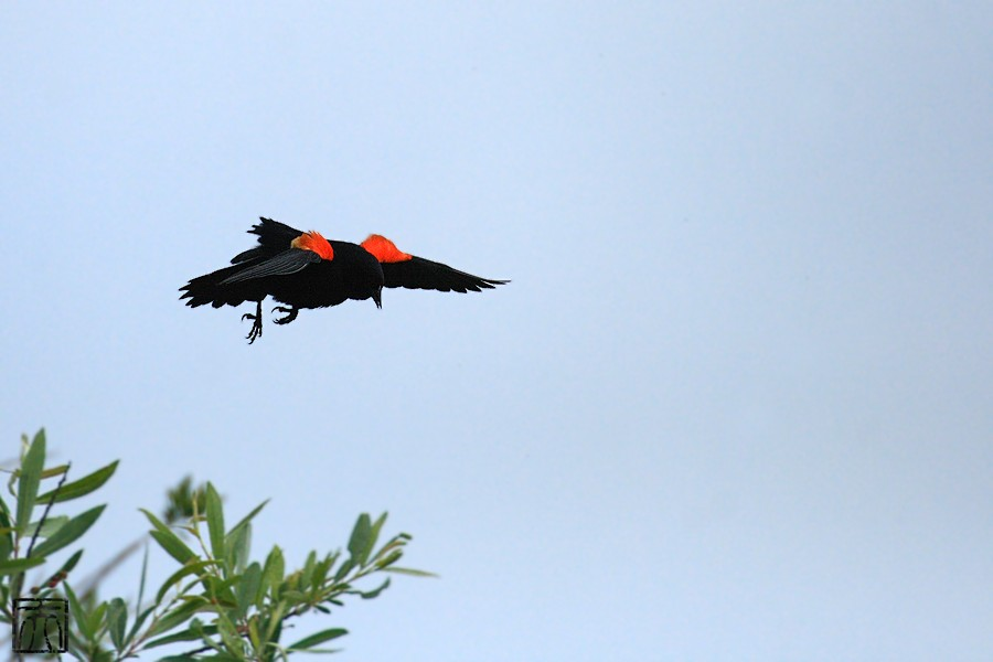 Red-winged Blackbird 04101-7