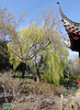 Chinese Garden - Willow tree over the logoon SC20110511 258 (fotoproze) Tags: canada primavera spring quebec montreal jar printemps tavasz frühling بهار vår jaro bahar wiosna 春 春天 gwanwyn forår voorjaar jardinbotaniquedemontreal весна kevät proljeće 2011 пролет אביב 봄 montrealbotanicalgardens ربيع vorið musimbunga earrach pomlad primăvară άνοιξη пролеће موسم udaberrian mùaxuân بہار musimsemi वसंत ฤดูใบไม้ผลิ