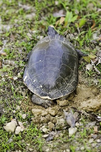 wMama_turtle_1