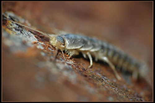 extreme close-up of a silverfish bug