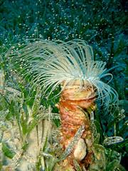 Tube Anemone with tiny Shrimps (Idiomysis Tsurnamali)