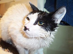squeeky clean (GOD WEISFLOK) Tags: china vancouver cat shanghai streetcat catnipaddicts gordweisflock weisflock puddyblackwhitekitty
