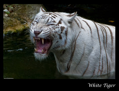 White Tiger - Singapore Zoo (Souvik_Prometure) Tags: white zoo singapore wildlife tiger whitetiger singaporezoo souvikbhattacharya