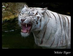 White Tiger - Singapore Zoo (Souvik_Prometure) Tags: white zoo singapore wildlife tiger whitetiger singaporezoo souvikbhattacharya