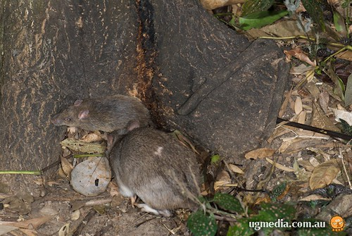 Long-nosed bandicoot (Perameles nasuta)