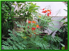 Caesalpinia pulcherrima (Peacock Flower, Pride of Barbados), in our garden October 2005