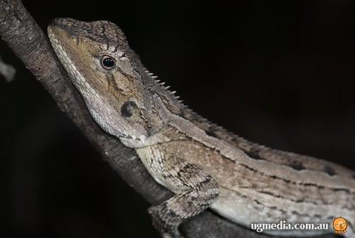 Burns' lashtail dragon (Amphibolurus burnsi)