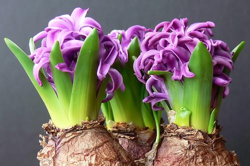 Hyacinth Flower Bulb