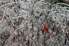 Cardinal on Ice (CKEphotos) Tags: winter bird landscape cardinal icestorm ozarks backyardbirds ckephotos