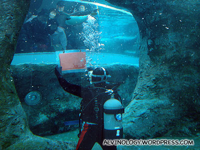 A diver in the penguin enclosure feeding them