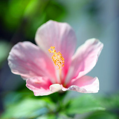 Happy Pretty Pink Tuesday! (JannaPham) Tags: life morning pink flower macro canon garden eos golden spring pretty bokeh vietnam explore hibiscus tuesday 5d saigon hochiminhcity markii project365 explored explorefrontpage explore1 flickrsbest exploretop10 masterphotos 72365 hppt jannapham fantabyouus