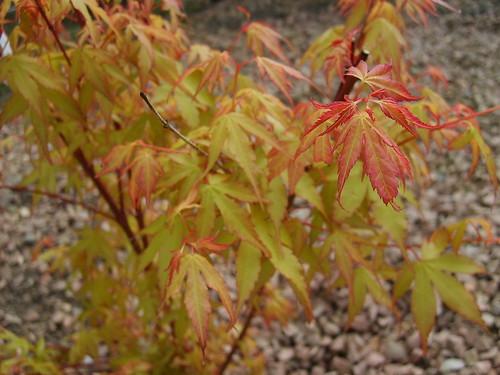 Acer Leaf Focus