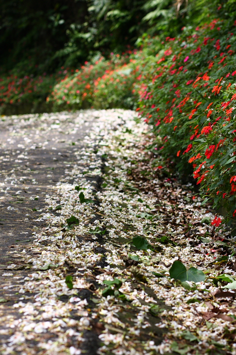 三峽賞桐鳶山步道、銅鐘17