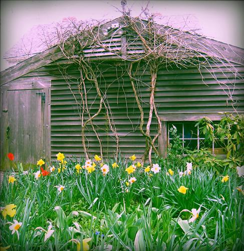daffodils in neighbor's yard
