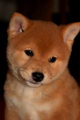 6wks 7 days (50) (Netsirksmada) Tags: red puppy photography adams nest mango kristen shiba perrito inu shibas