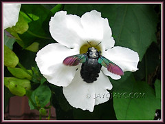 Beautiful carpenter bee on Thunbergia laurifolia (Blue Trumpet Vine, Laurel Clock Vine)