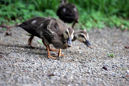 patociraptors- Peleando por una presa