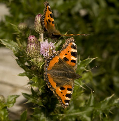 """Two Small Tortoiseshell Butterflies (aglais urticae) • <a style=""""font-size:0.8em;"""" href=""""http://www.flickr.com/photos/57024565@N00/3791223481/"""" target=""""_blank"""">View on Flickr</a>"""
