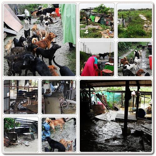 20090809「救助」台南新化鍾媽媽狗場慘遭大水淹過~急需幫忙~