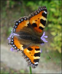 (helena.e) Tags: macro butterfly explore fjäril bej abigfave helenae goldstaraward helenab