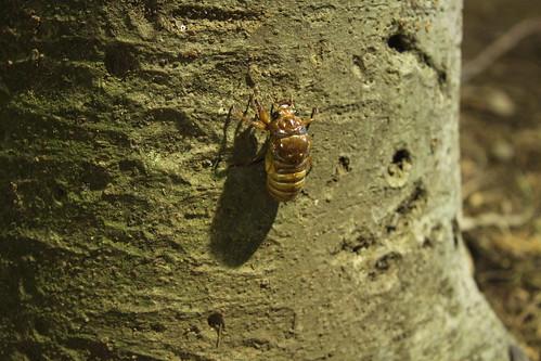アブラゼミ幼虫