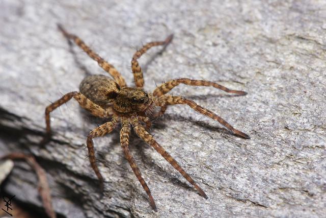 Lycosidae sp