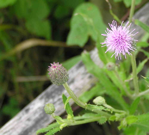 Thistle Flower in my Small Kitchen Garden