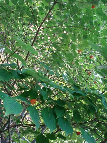 56/365 Swet Gum Tree