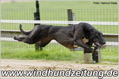 Greyhound-Foto:  Vigouros Lou Lou beim Training in Gelsenkirchen