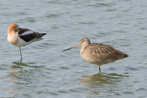 Marbled Godwit & American Avocet by you.