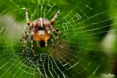 European garden spider (joelle.merinsky) Tags: nature garden insect spider spin natuur cobweb tuin gmt naturesfinest supershot beautifulmonsters smallcreatureswilllovethisplace