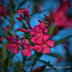 BLOOMIMG SOUTH TEXAS OLEANDER: FLICKR GAMMA