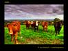 Hello (Irishphotographer) Tags: sky nature field grass cattle cows wildlife herd kinkade beautifulireland irishphotographer imagesofireland kimshatwell breathtakingphotosofnature beautifulirelandcalander wwwdoublevisionimageswebscom
